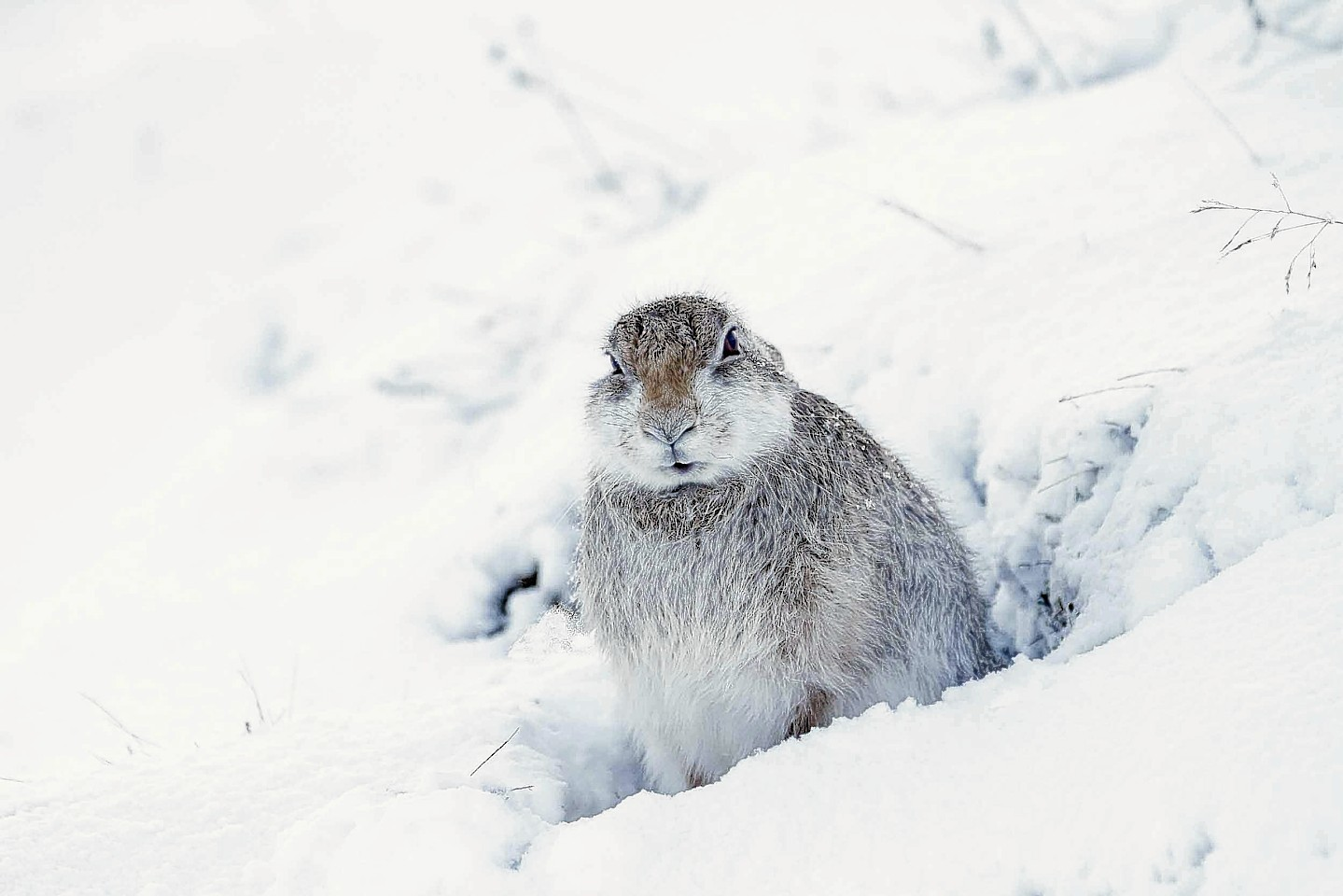 The mountain hare braves the chill