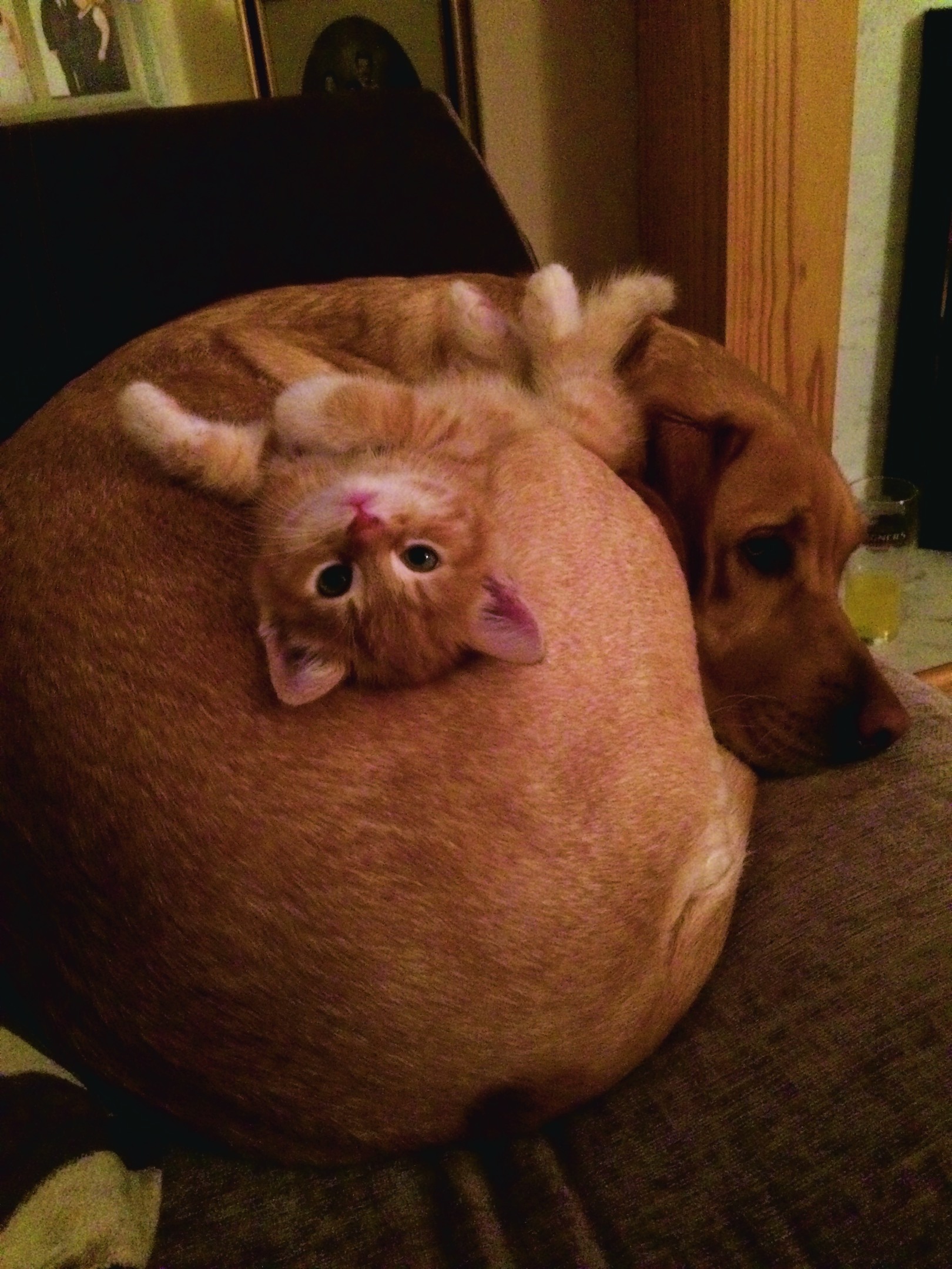This is Daisy the dog and Guy the eight week old kitten. They are the best of friends...now and live with Clayre Urquhart in Lyne of Skene, Westhill.
