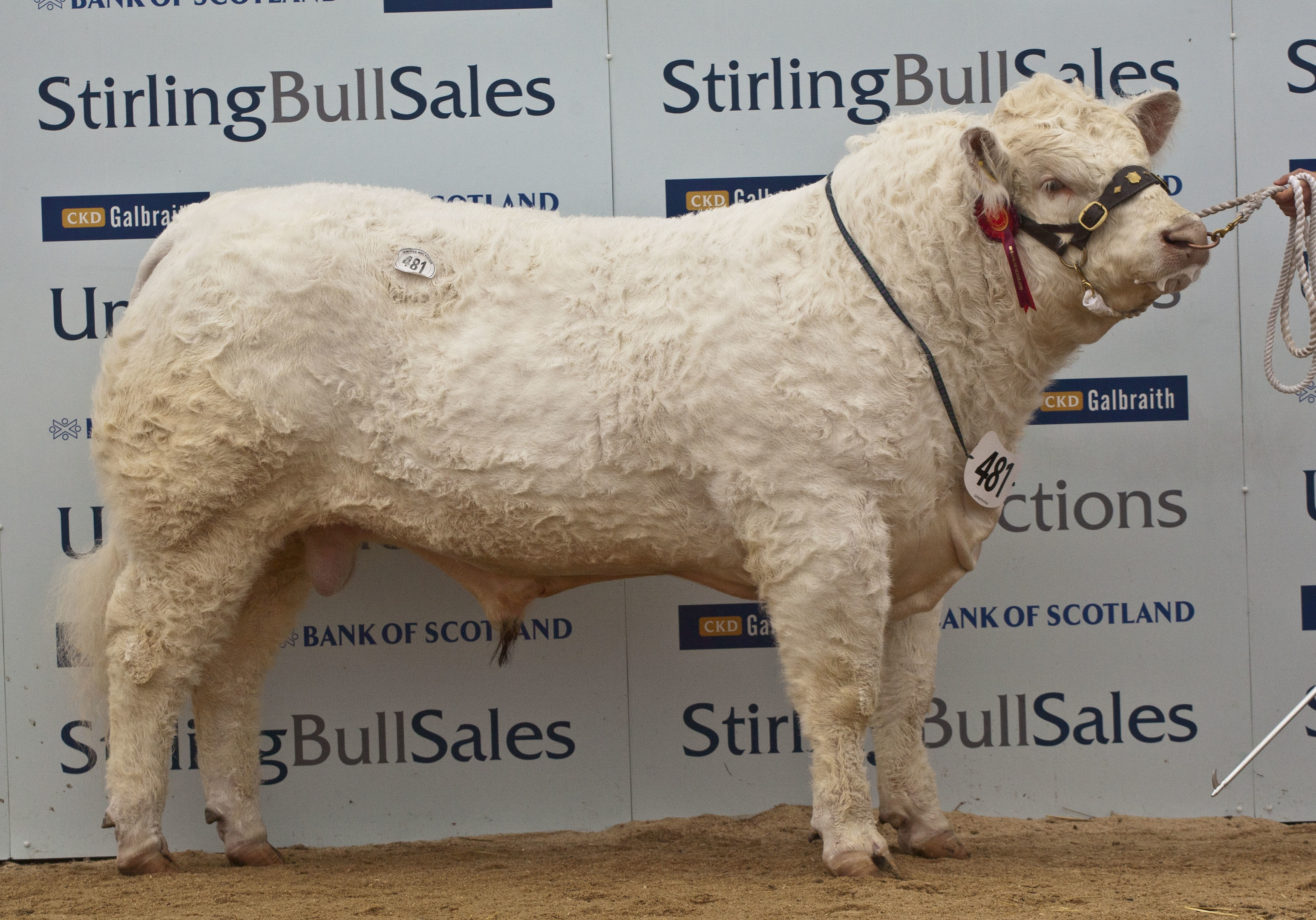 The top priced Charolais from Ronnie Mackay.