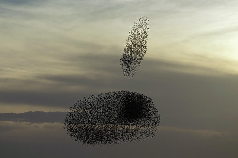 The starlings display in Israel