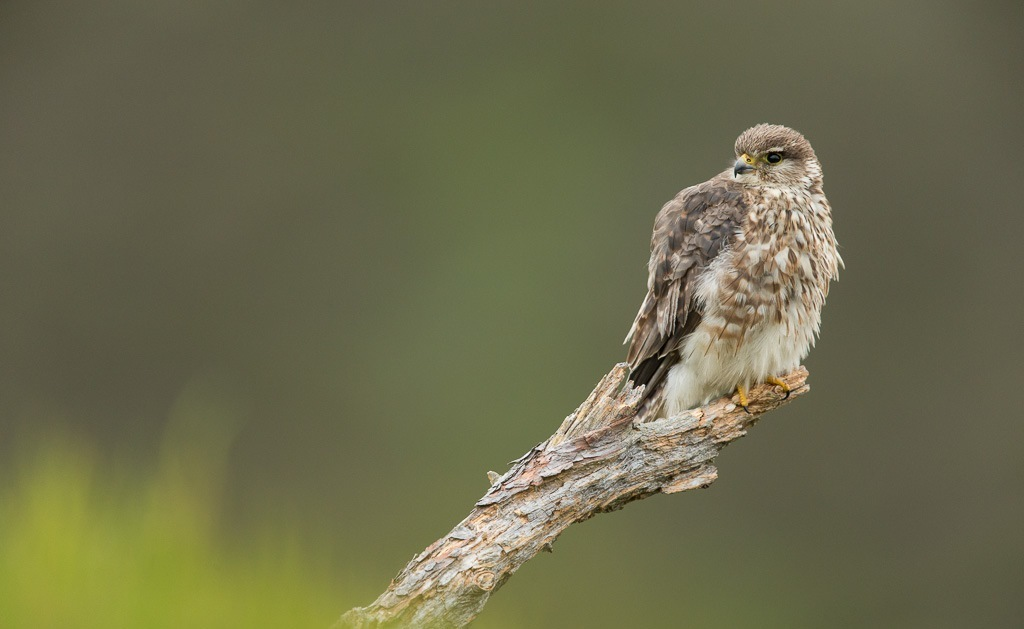Merlines are the smallest kind of falcon in the UK