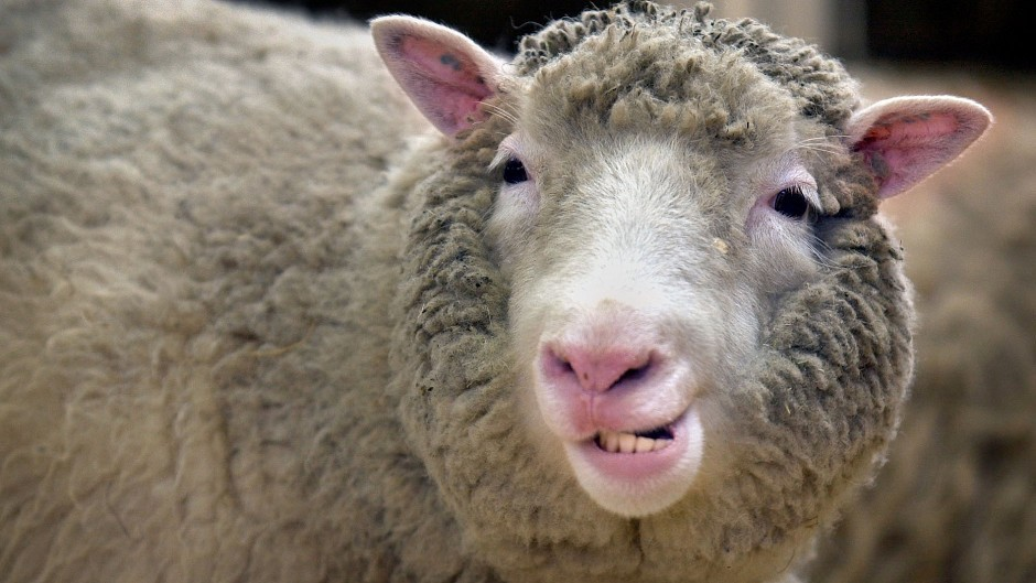 Dolly the sheep was the first mammal to be cloned from an adult cell