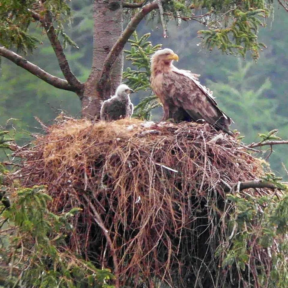 Sea eagles in Tiroran Forest