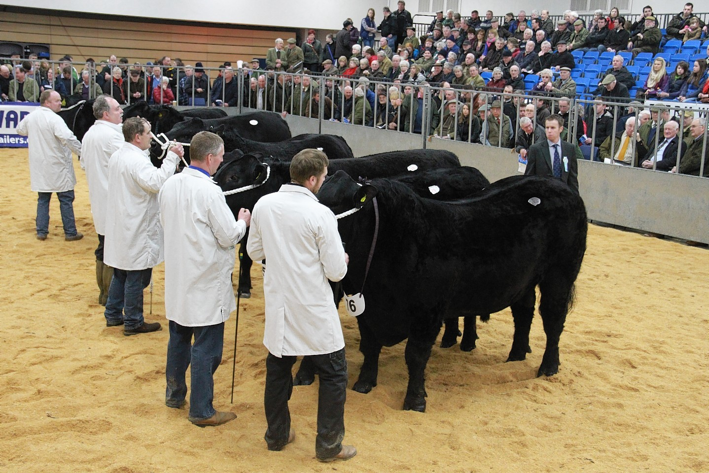 Cattle on show at the Spring Show