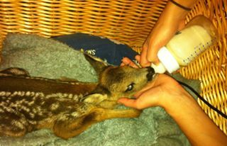 Kayleigh the fawn days after her birth