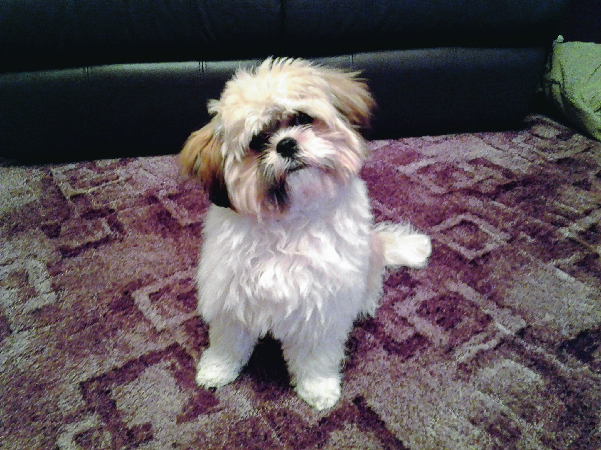 Rosie is a 6-month-old Lhasa Apso and lives with Pat Maclean in Inverness.