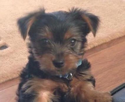 Kai the Yorkshire Terrier puppy