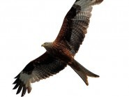 A total of 12 red kites were killed in one of the country's worst-ever birds-of-prey poisoning cases last year
