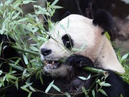 Research found that pandas eat through areas of good bamboo growth and return months later after the plant has regrown
