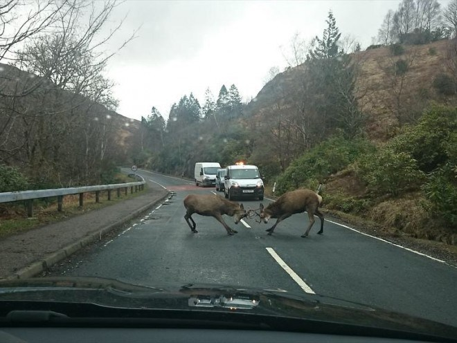 The stags were photographed and initially thought to be fighting in the middle of a Highland road