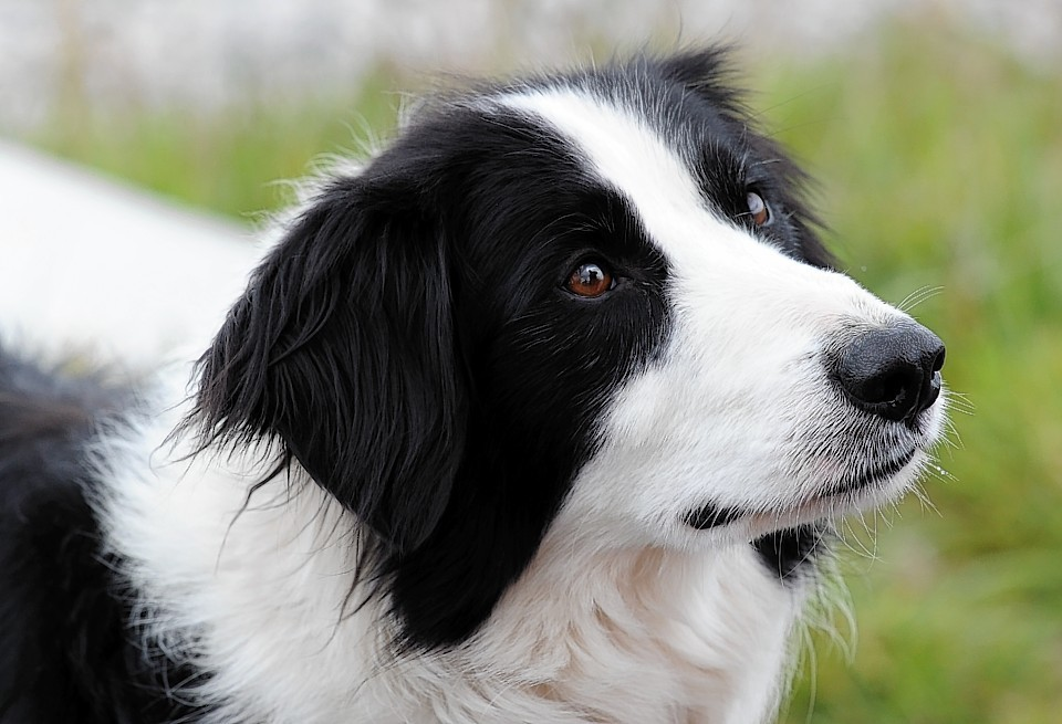 All dogs will have to be microchipped from April 2016.