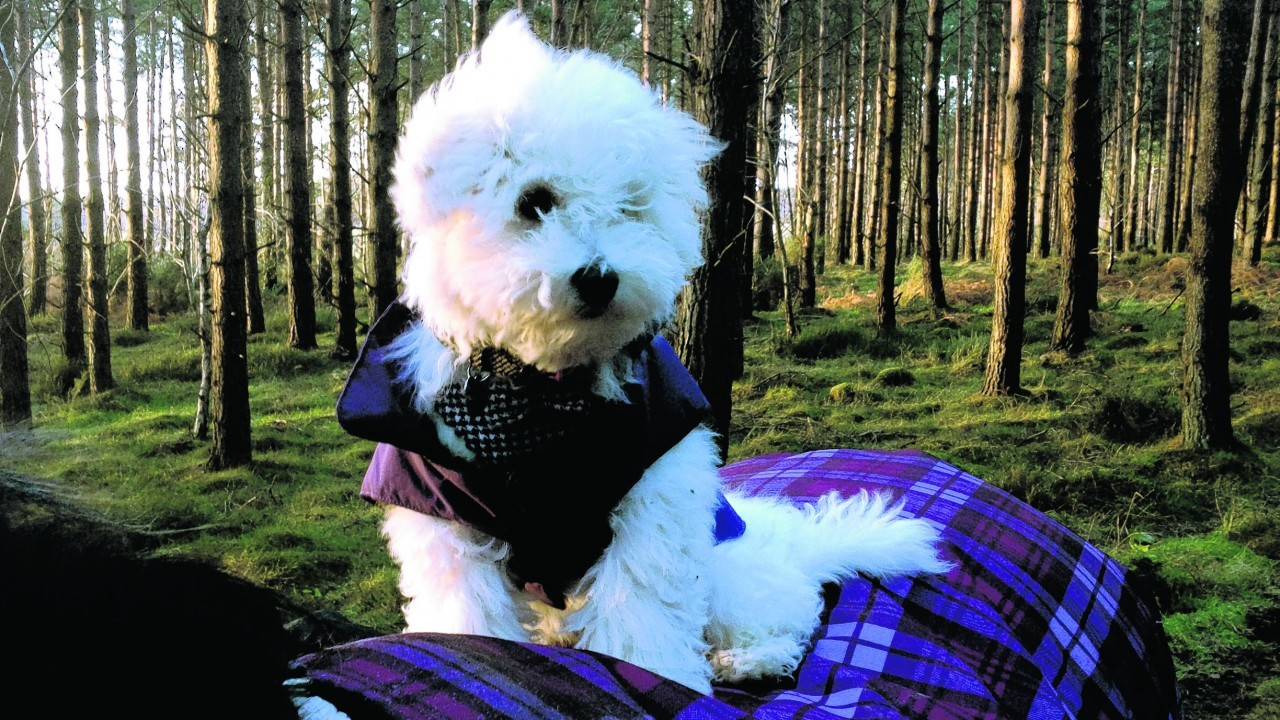 This is Harper enjoying a stroll through the woods on horse back. Harper is a 20-week-old bichon frise and lives with Lisa, Kristian, Charlotte and Ollie Owen in Moray.