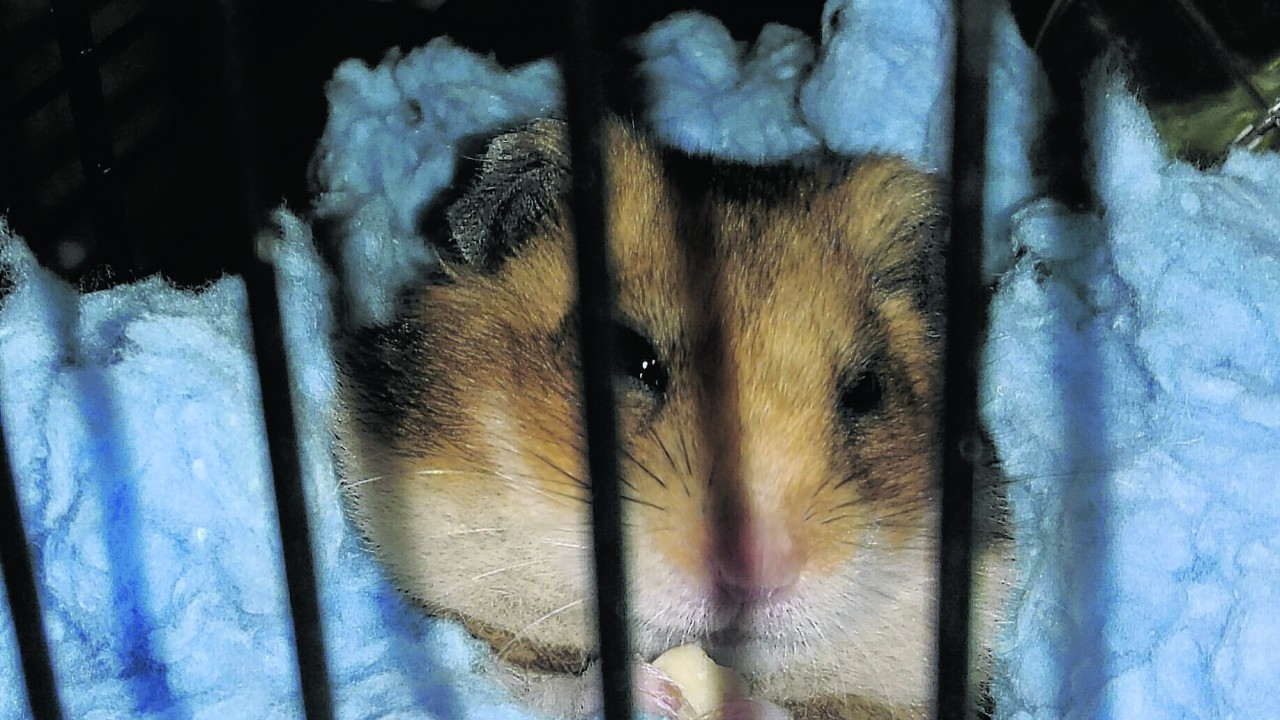 This is Harvey the Syrian hamster. He stays in Turriff with Kelly Duncan.