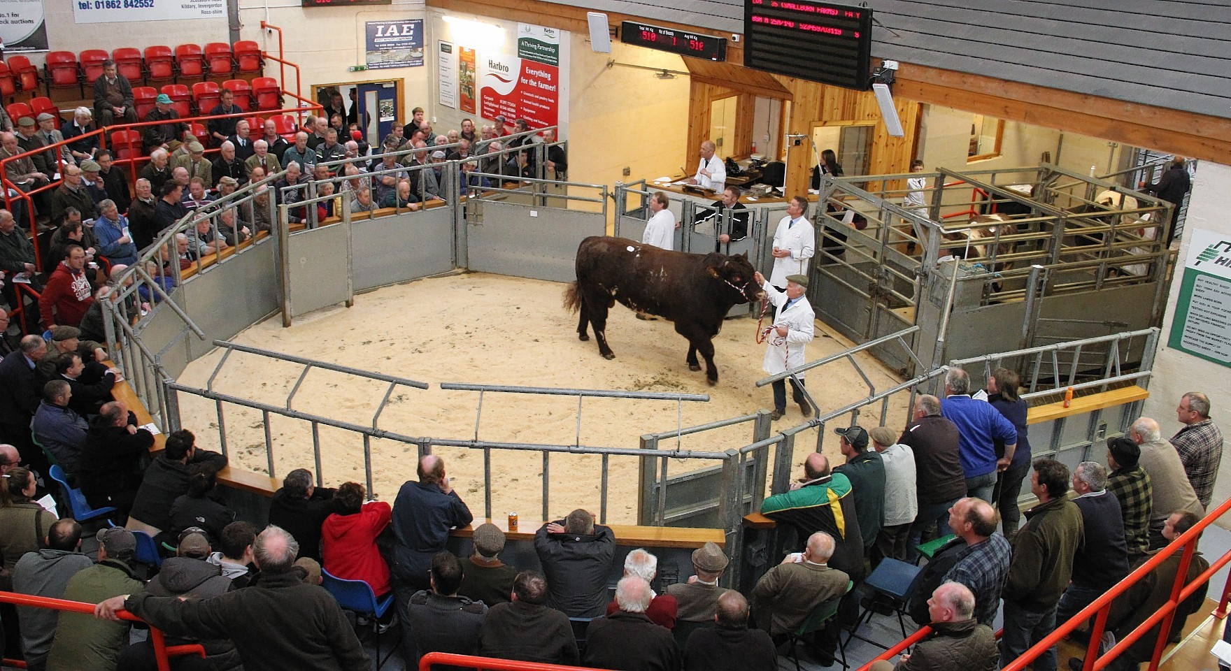 A bull goes through the ring at Dingwall Mart