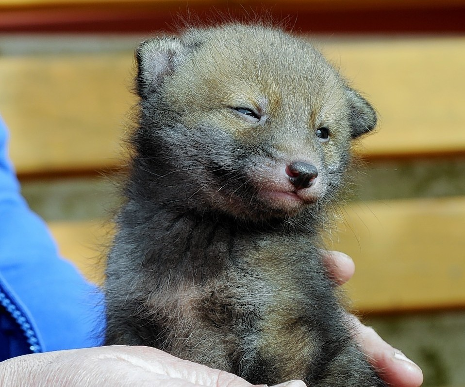 Three week old fox cub which was found during an Easter Egg Hunt now being looked after at the New Arc Centre, Auchnagatt.