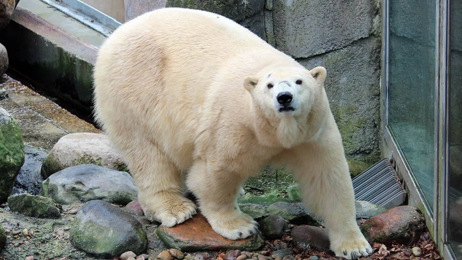 Victoria the polar bear is set to enter her new enclosure for the first time (Highland Wildlife Park/PA Wire)