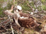 A young female osprey has moved in to the nest of the UK's oldest-known breeding osprey