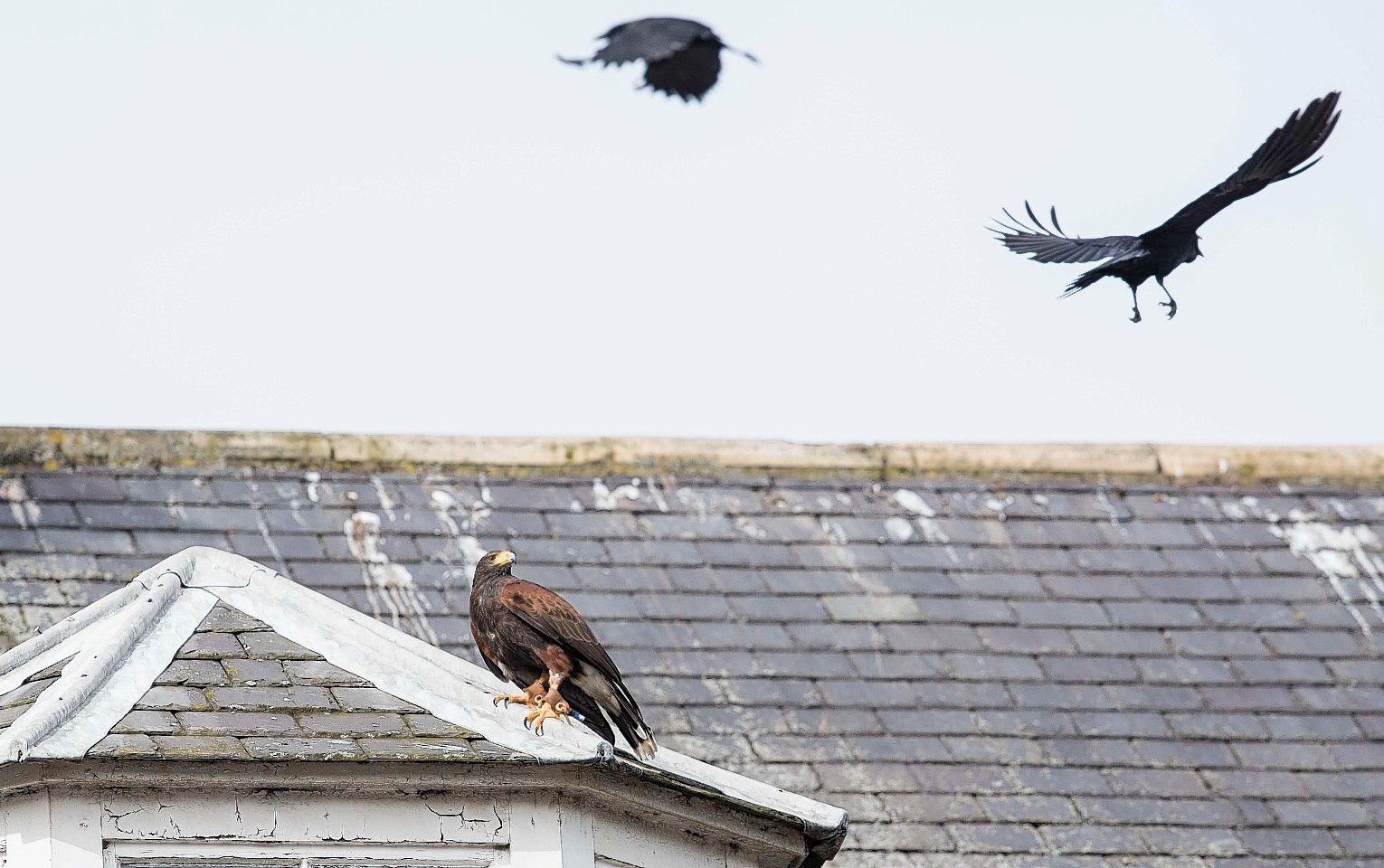 The hawk gets into action in Stonehaven