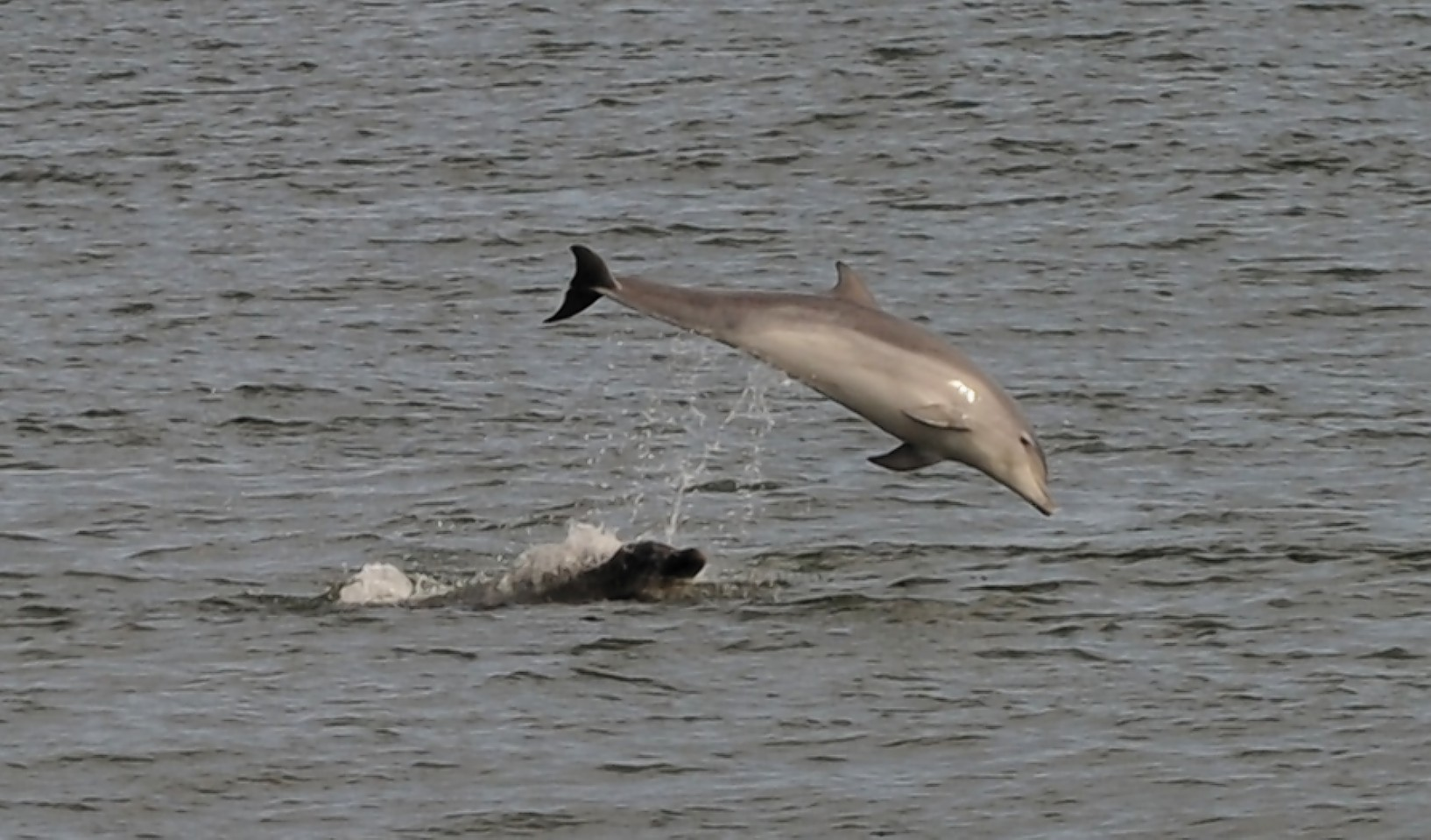Dolphins at Torry Battery