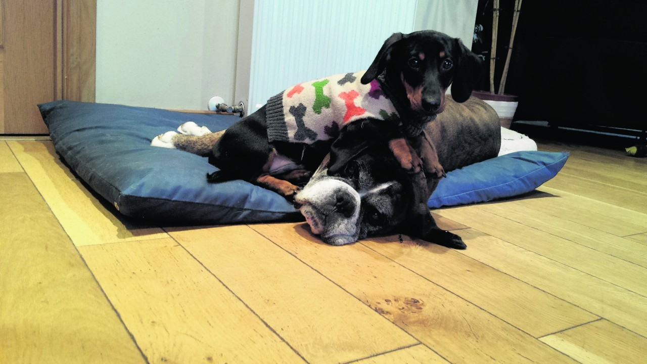 Bentley the dachshund giving Duke the boxer no peace at all. They live with Sheena Mackay in Inchrory, Beauly.