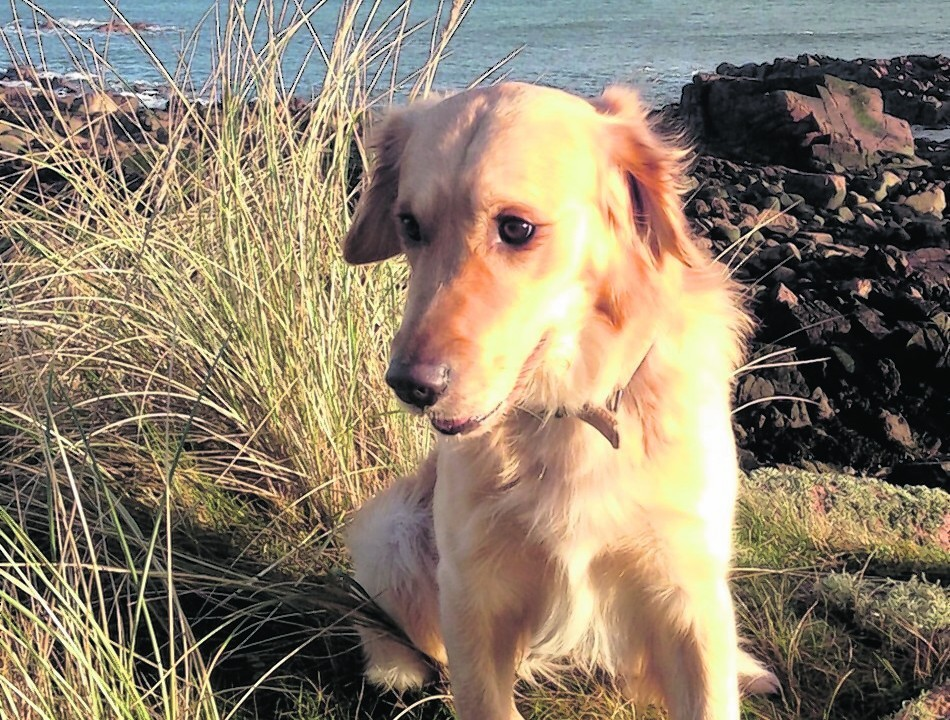 Here is golden retriever Fergus Murray who lives with the Donaldson family at St Fergus having a grand day out at the beach at Buchanhaven.