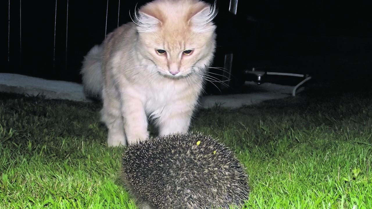 Splash meets the hedgehog. Splash lives with Kevin Jaques at Kirkton of Skene.