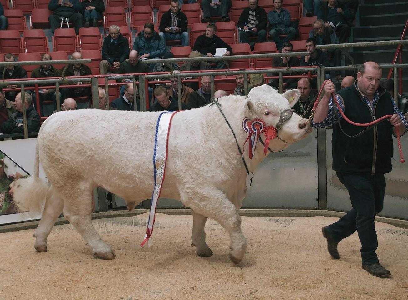 The supreme champion at last year's bull sale