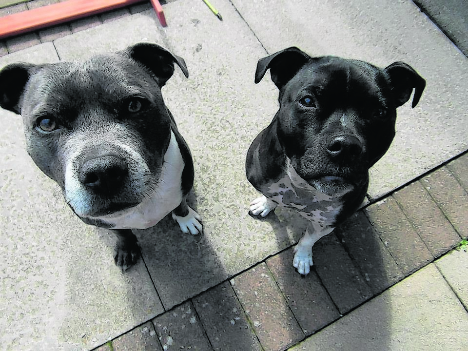 Meet seven-year-old Kai and five-year-old Kenna. Kenna was rescued from being put to sleep by Scottish Staffordshire Bull Terrier Rescue and now lives happily with the Ross family and Kai, along with a cat, two rabbits and two guinea pigs – all rescues – in Inverness. Kai and Kenna are the canvas winners this week
