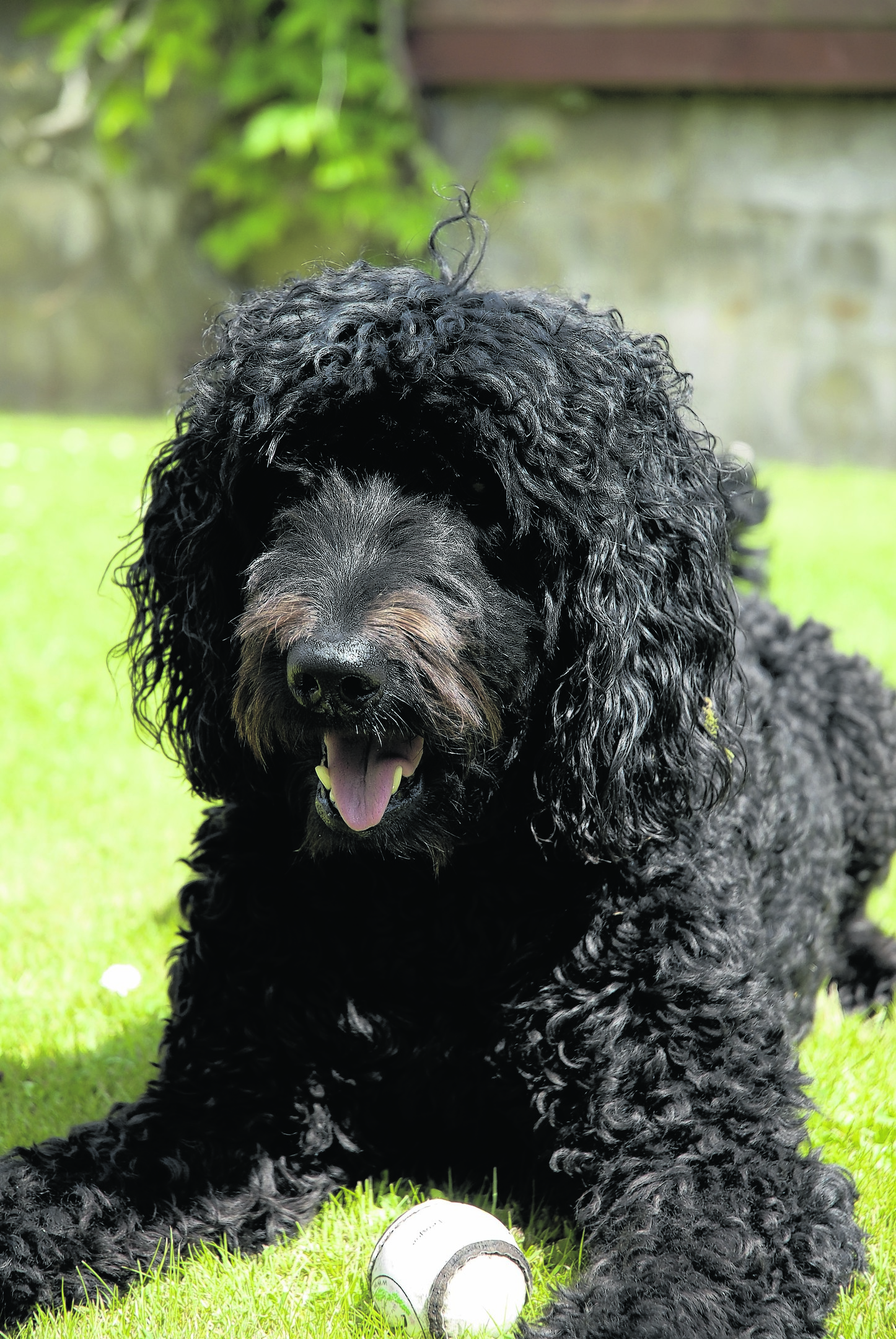 Lucy the loopy labradoodle lives with Lorna Levy in Bishopmill, Elgin. She is our canvas winner this week.