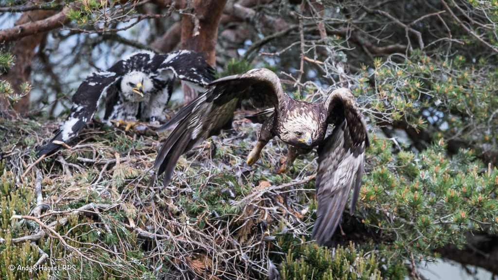 The golden eagle and chick at Glen Tanar Estate, near Aboyne