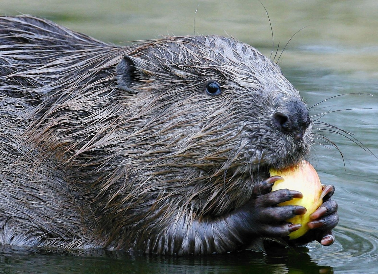 The Scottish Government are due to decide on whether Eurasian beavers will be allowed to live freely in Scotland after an absence of some 500 years