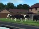 Charging cows
