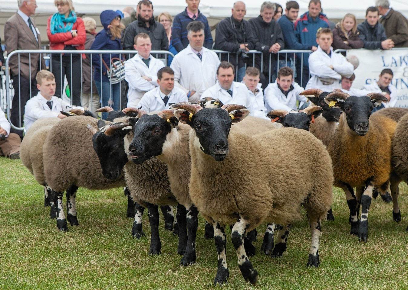 Sheep being shown at the Royal Highland Show