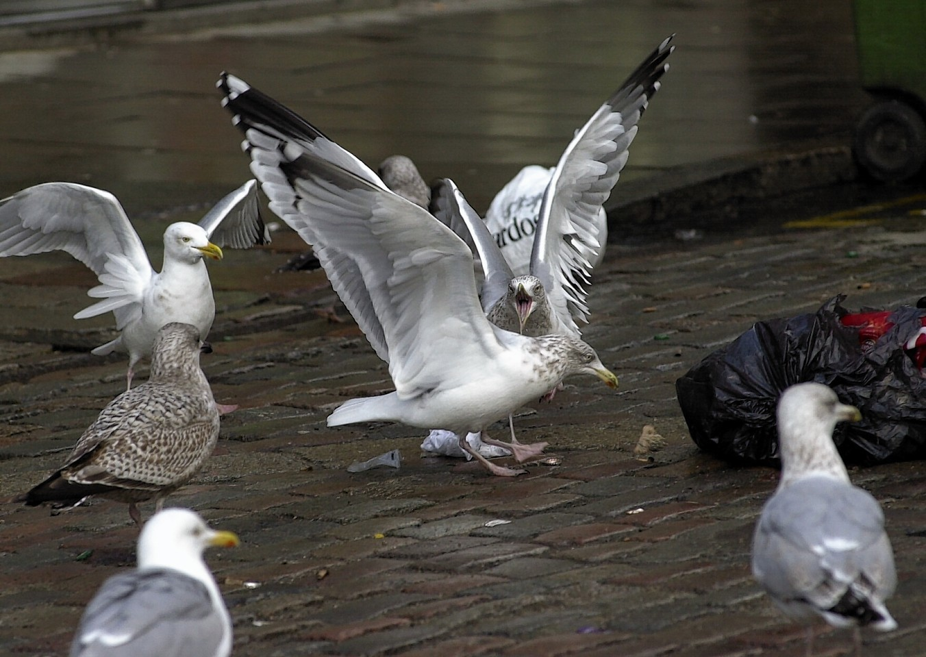 Seagulls tear at the rubbish left outside flats on Castlegate.