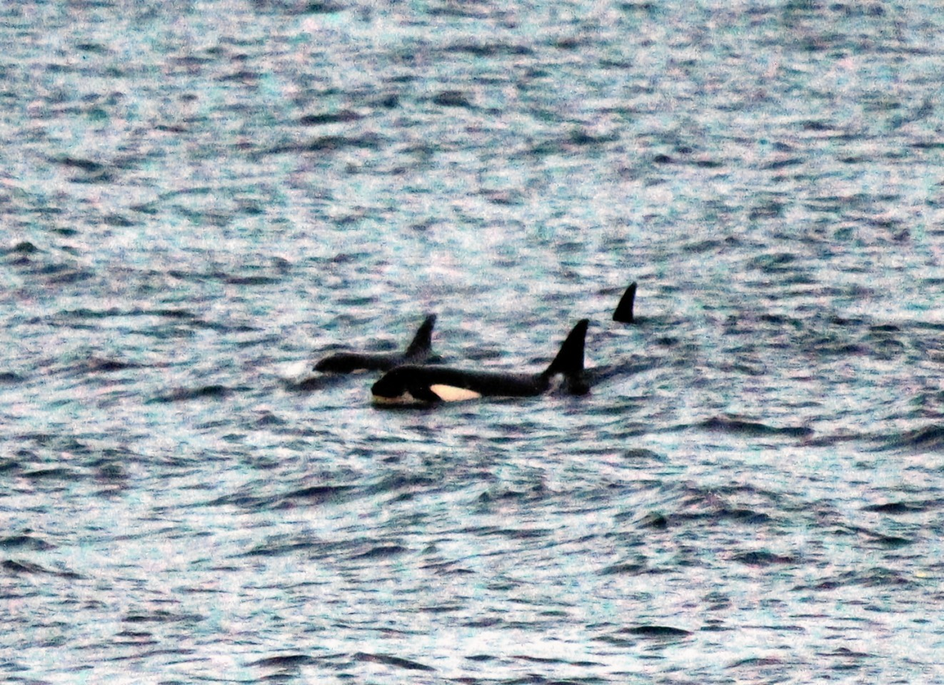 The orcas were photographed by amateur wildlife photographer David Beedie.