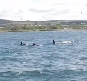 Three of the killer whales filmed near Buckie