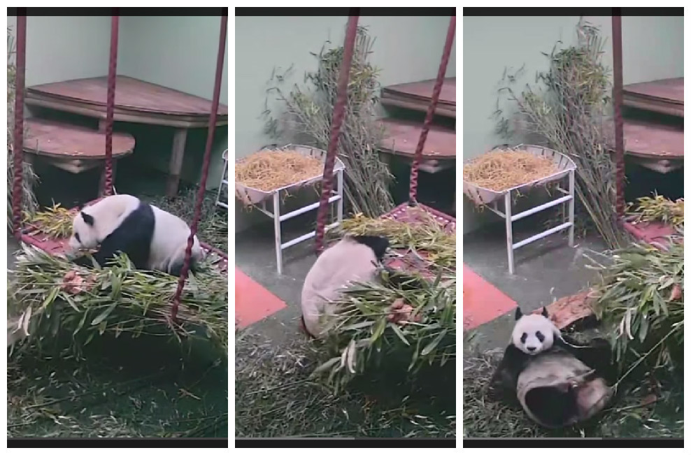 Tian Tian the Giant panda falls from her bed in Edinburgh Zoo
