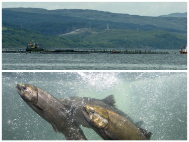 The 16,000 fish, weighing an average of 10lb each, escaped from the Marine Harvest farm at Carradale.