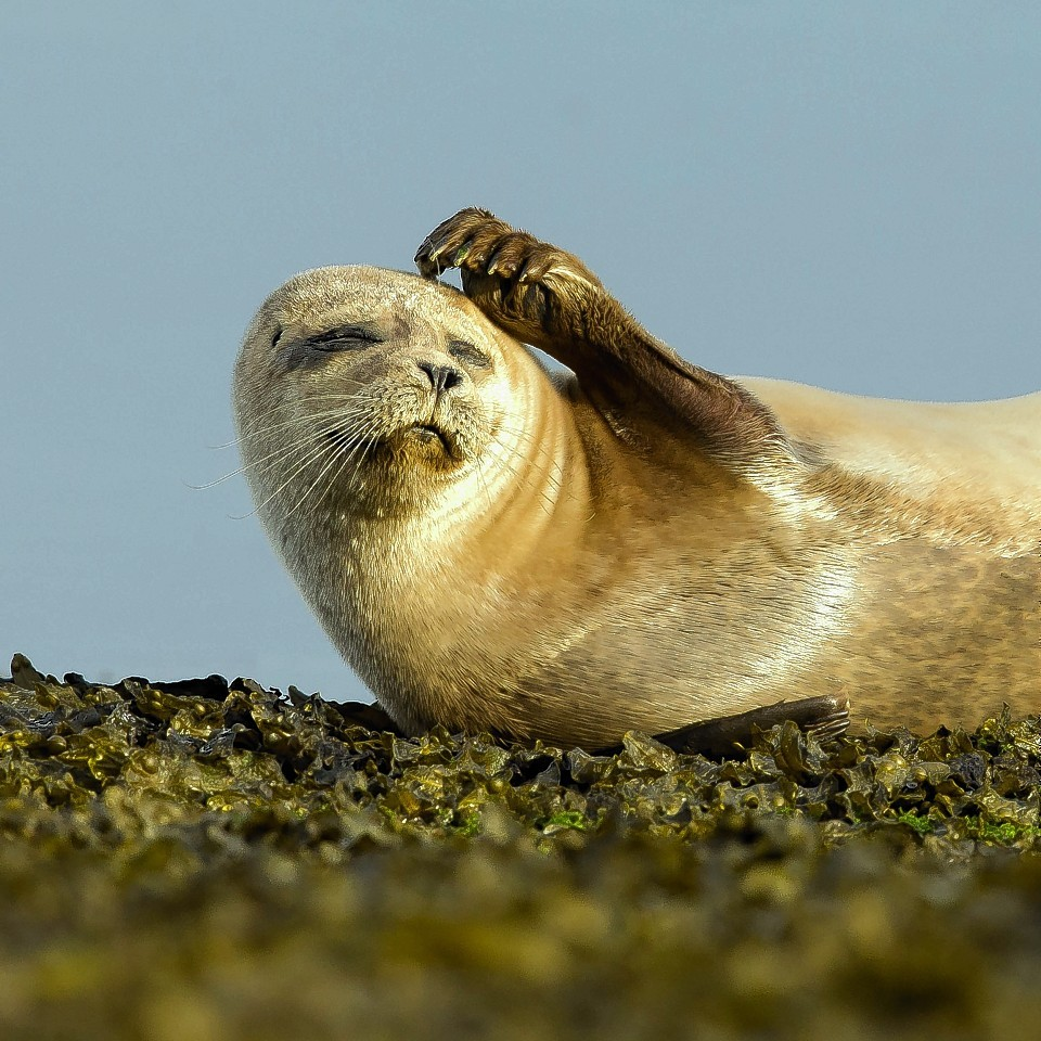 A SUNBATHING seal welcomed the first rays of summer by putting on a ultra-cute display of head-scratching and stretching.