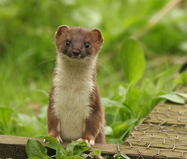 SNH fears the introduction of stoats to the islands could cut wildlife tourism to the area