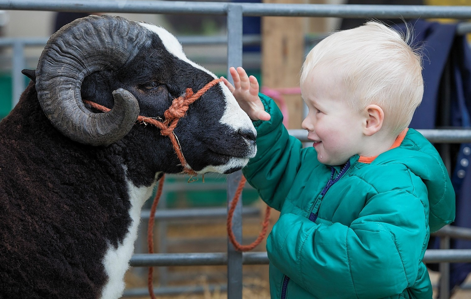 Two-year-old Douglas Marwick from Edinburgh with Border Viscount, a one-year-old Jacob sheep from Cumbria. The Royal Highland Show gets underway as farmers from all over the UK bring their livestock to Edinburgh to showcase the country's greatest animals on the four day event