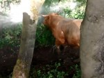 The fire crew rescued the cow
