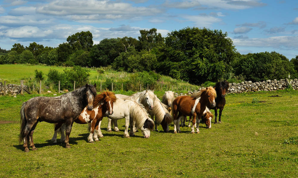 Some of 27 ponies at the  at the Scottish SPCA centre at Drumoak are looking for a new home