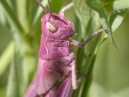 A pink female meadow grasshopper nymph photographed by Dr Luke Blazejewski in a brownfield site in Salford, Greater Manchester (Dr Luke Blazejewski/PA)