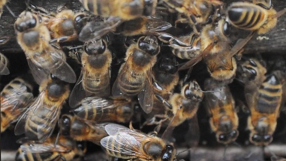 American foulbrood attacks honey bee larva