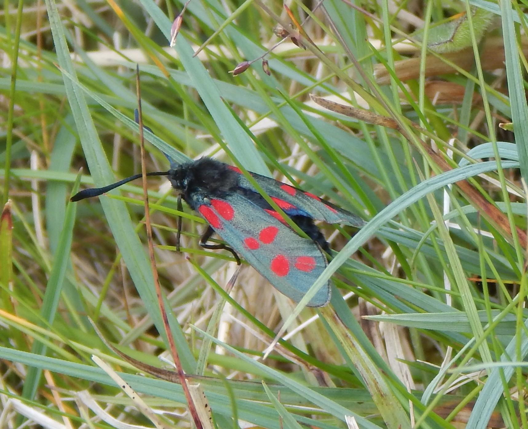 Six-spot burnet moth. Credit John Bowler