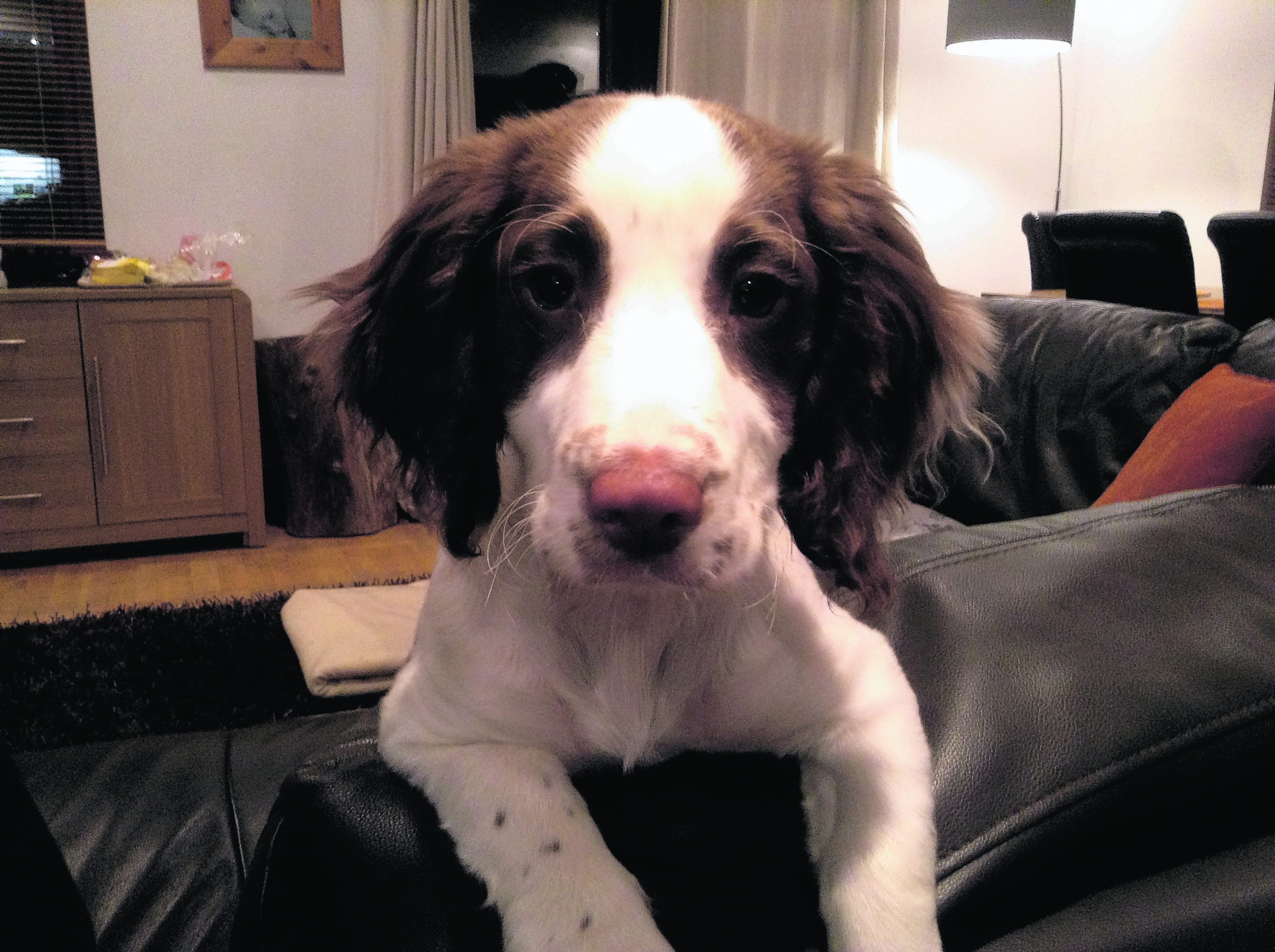 Meet cheeky sprocker  pup Jess.  She is nearly five months old and lives with Stewart and Jane Lemmon in Dingwall.