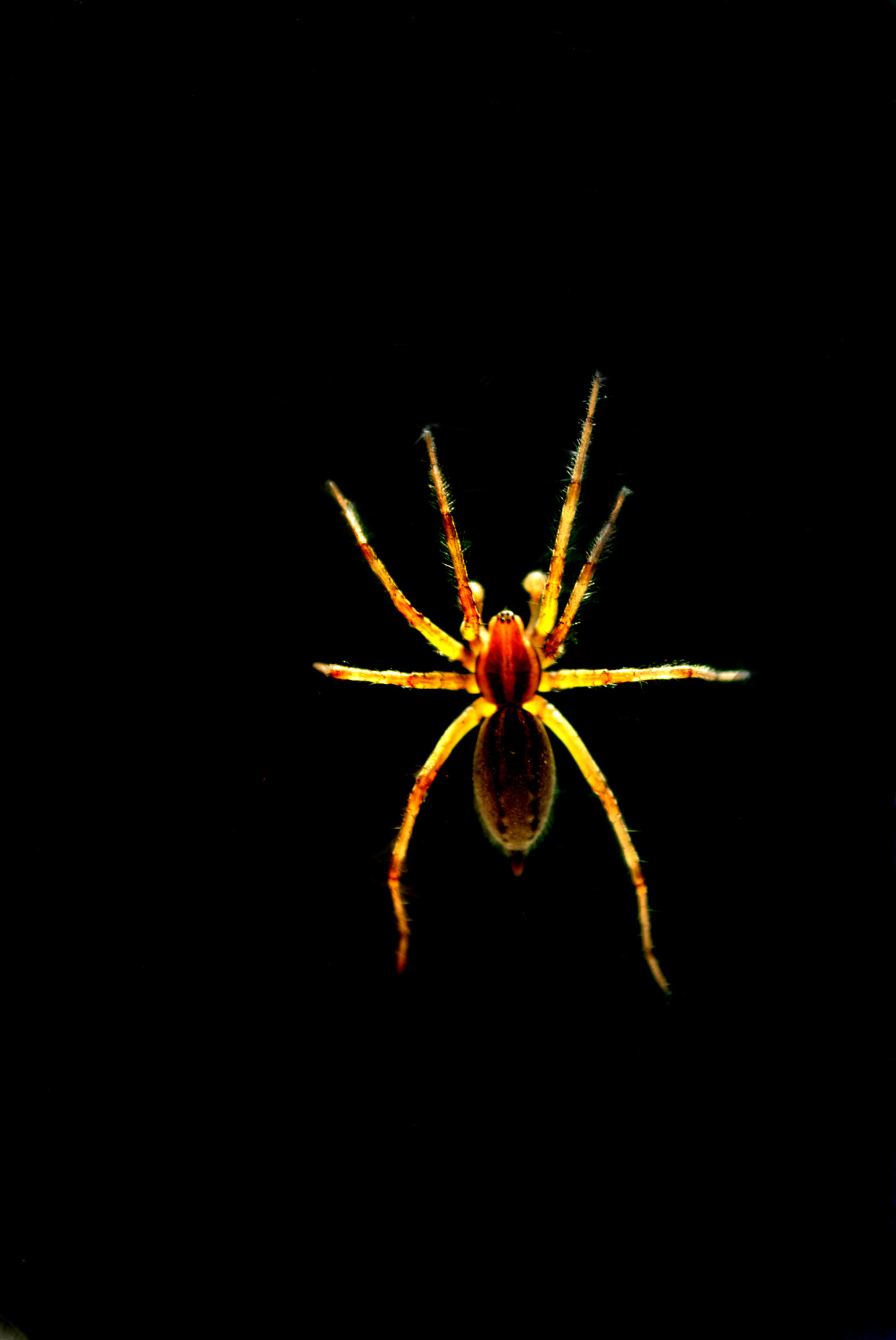 Giant spiders like this one could be coming to your home soon