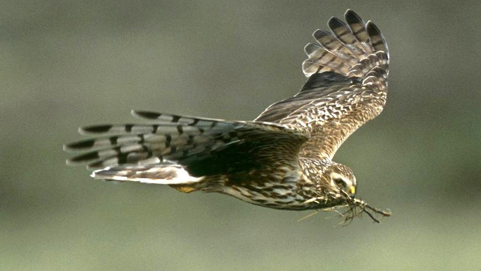 Charges have been dropped after a hen harrier was shot dead.