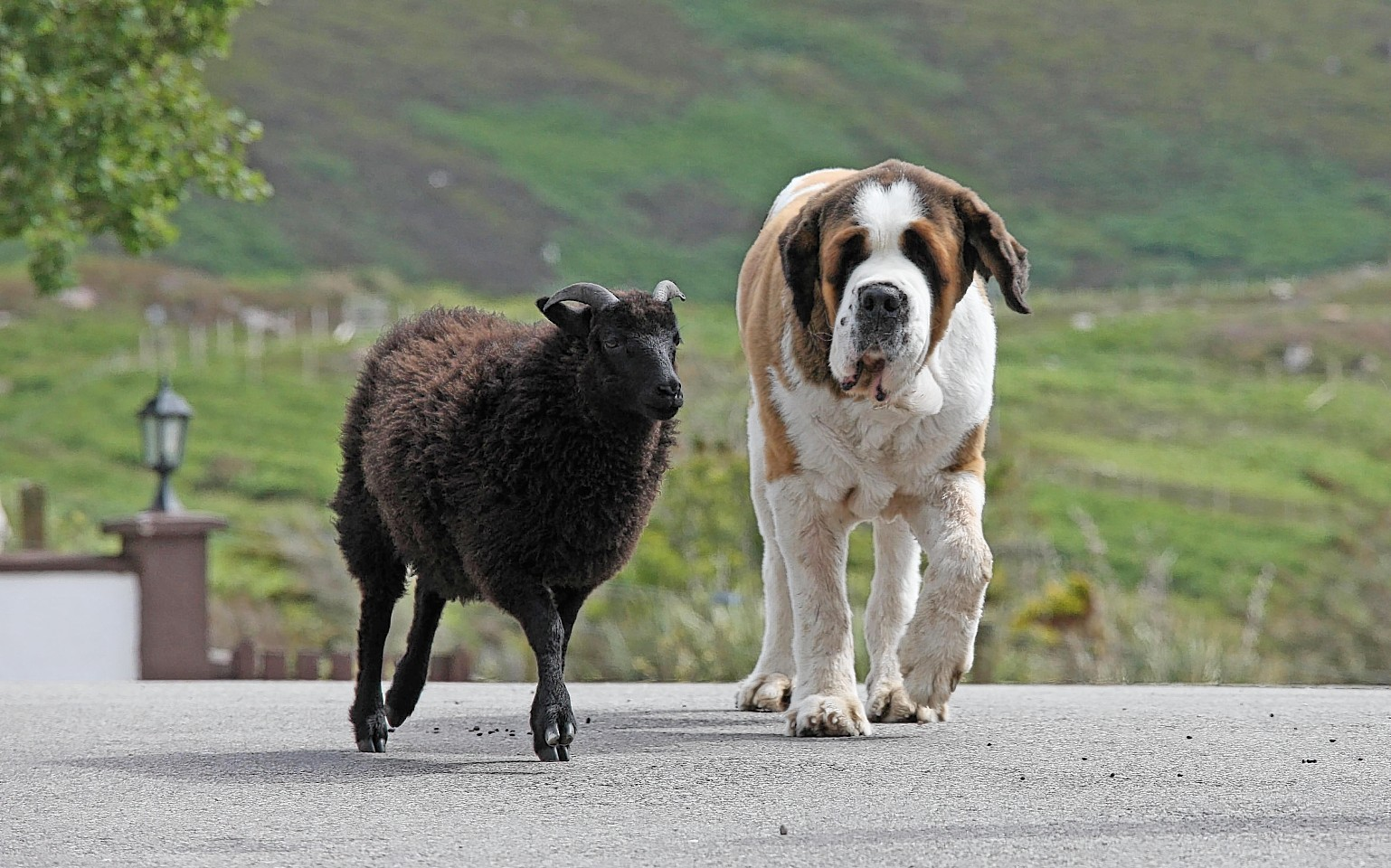 Dileas the St Bernard and Bruce the sheep who have struck up an unlikely friendship